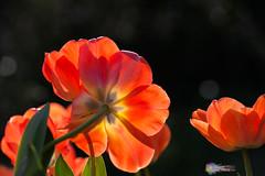 Florals at Duke Gardens #26 (Chris Lafort) Tags: florals durhamnc sarahpdukegardens viveza nikond700