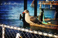 (Krista Cordova Photography) Tags: sanfrancisco blue cold bird water birds fence grey bay seagull gull gray bluewater sanfranciscoca sanfranciscocalifornia coldwater orangebeak greybird graybird