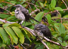 Tropical Mockingbirds looking very sorry for themselves in a Rainforest downpoor, Tobago. (One more shot Rog) Tags: bird nature wet birds fauna wings rainforest wildlife birding flight wing feathers feather wash trinidad birders pouring tobago rains cuffie beaks preens cuffieriver tropicalmockingbirds cuffierivernatureretreat soakedtropical