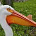 The American White Pelican