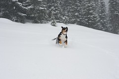 Dala (Thaddz) Tags: dog snow puppy washington northcascades entlebucher entlebuchermountaindog
