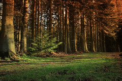 The Sourceror`s Secret Forest_8755 (FoxyPhoto2012) Tags: sunset forest woodland foxy scotland forests kelso fatman scottishborders roxburghshire roxburgh foxyphoto foxyphoto2012 fatmanphotographer
