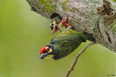 Barbet Nesting (kengoh8888) Tags: wild people baby tree nature pose open hole pentax head no background beak sigma clean perch avian creamy k5 nesting coppersmith pecking barbet 500f45