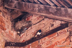 20160617-IMG_4517 Swallow Nest Baddesley Clinton Warwickshire.jpg (rodtuk) Tags: uk england bird nature unitedkingdom places gb warwickshire midlands knowle b23 phototypes roderickt