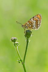 Melitaea athalia (lubo.krupa) Tags: ifttt 500px butterfly butterflies macro close up closeup detail pentax tamron 90mm