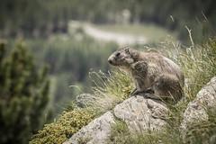 IMG_2415.jpg (blubberli) Tags: hannig sommerferien murmeli saastal mungga murmeltier schweiz wallis saasfee ch