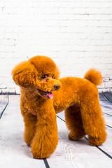 MATCHA LOW-18 (Michiez Chua Petography) Tags: poodle toypoodle singaporedog singapore redpoodle cute dog dogs canon 35mm studio studioshoot dogshoot