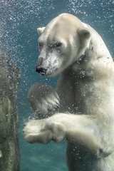 Polar Chill (San Diego Zoo Global) Tags: animals nature bear polarbear swimming underwater cute sandiego zoo conservation activism tourism