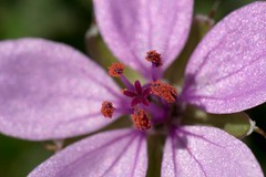 Purple , #Garden , #outdoor , #blur , #Exposure , #flora , #purple , #pollen , #Nature , #Petals , #flower , #color , #Light , #composition , #interesting , #Photographer , #Photography , #Macro , #closeup , #upclose , #Stamen , #bloom , #delicate , #Bota (jwzw@ymail.com) Tags: purple garden outdoor blur exposure flora pollen nature petals flower color light composition interesting photographer photography macro closeup upclose stamen bloom delicate botanical beautiful bokeh park season summer sunshine field