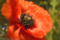 In summer, the song sings itself.  - William Carlos Williams (Kitsanne) Tags: lensbaby composerpro plasticoptic garden flower topazimpression paintedpoppy d80 kenkoextension red poppy