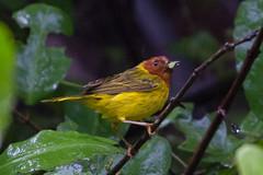 "Yellow ""Mangrove"" Warbler (Bufflehead66) Tags: costarica woodwarbler"