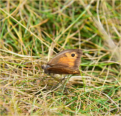Small Heath (Doe15) Tags: scilly