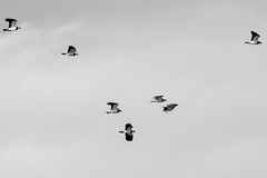 untitled (robwiddowson) Tags: lapwing bird flock nature natural image picture photo photograph photography wildlife birds blackandwhite robertwiddowson