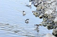 DSC_0105-001 (Great Salt Lake Images) Tags: summer morning causeway antelopeisland greatsaltlake utah