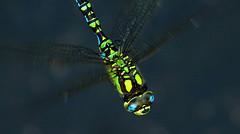Dragonfly (na_photographs) Tags: insect insekt libelle edellibelle blaugrnemosaikjungfer flying flgel wings fliegen