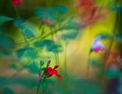 La frescura de la maana. (marcus turkill) Tags: flowers flores morning maana nikon nikond3300 nature naturaleza summer verano macro macrofotografia macrophotography