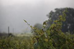 Morning in the vineyard (hannacsilla) Tags: nemesgulcs vineyard grapes vine morning mist cloudy