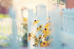 Because when you stop and look around life is pretty amazing! (Sandra H-K) Tags: fencefriday fence bokeh hff white yellow helios402 nature dof depthoffield dreamy daytime flowers flora blackeyedsusan outside outdoors summer summertime soft serene softfocus