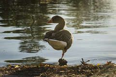 Concealing (pelpis) Tags: duck bird animal wild portrait nature scene naturescene madrid spain