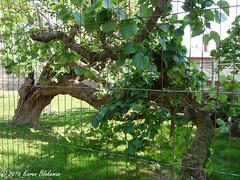 Challenge Friday, week 37,  theme unusual angles (3) - mulberry tree (karenblakeman) Tags: caversham uk cavershamcourtgardens mulberry tree challengefriday cf16 2016 september reading