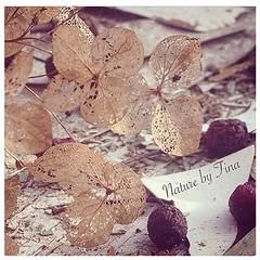 Latesummer (NaturebyTina) Tags: be hortensia danmark denmark odense wilted nature natur garden latesummer berries loveflowers flowerlovers flowers flower
