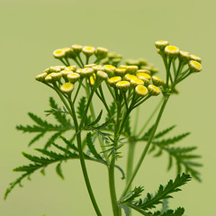 Tansy (Tanacetum vulgare) plant in flower (Ian Redding) Tags: asteraceae british compositae european nature tanacetumvulgare uk wildlife aromatic bitterbuttons common cooking cowbitter culinary erect flora flowers goldenbuttons herb herbaceous meadow medicinal perennial plant scented tansy treatment wildflower yellow