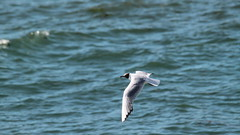 Talmont-Saint-Hilaire (OliBac) Tags: olibac mouette mouetterieuse seagull oiseaubirdmerseaocanoceancanon eos 500d mmxvi