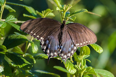 Potts Preserve  Eastern Spicebush Swallowtail 07-21-2016 (Jerry's Wild Life) Tags: butterfly citrus citruscounty county florida potts pottspreserve spicebush spicebushswallowtail swallowtail