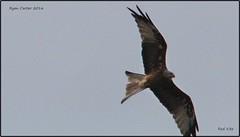 IMG_2439-croprkite (ryancarter2012) Tags: red kite cala galdana menora