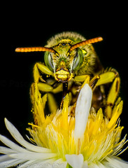 IMG_4401-1-1-2 (Pascal Guay) Tags: green bee macro macrophotography insects flower insect rebel t2i 550d bug bugs canon white petals yellow antenna antennae bees compound eyes wasp