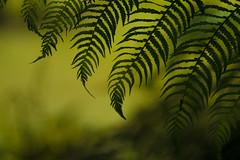 Fern (jillyspoon) Tags: fern plant green fronds diagonal canon canon70d 70d nature patterns patternsinnature grow light explore