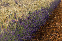 Un mariage de lavande et de ble @Valensole #2 (Charles EYES PiX) Tags: leplateaudevalensole alpesdehauteprovence sud ble lavandin nature odeur violet fields south plateau lavande champs aixenprovence valensole france