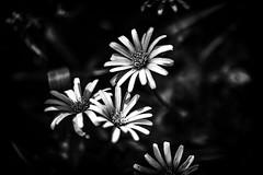 Waving to the Sun. (majestiele.co.uk) Tags: daisy gerbera kew monochrome macro canon waving sun spring fall