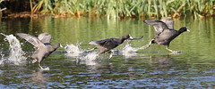 Photo Finish (Robin M Morrison) Tags: coot westhay