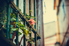 Every Rose Has Its Thorn (Thomas Paal Photography) Tags: nikon d600 tamron 70300 vc usd tellaro italy italien italia travel reisen photography holiday urlaub vacanca vacance early morning sundset sonnenaufgang street flower blume gitter
