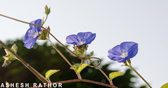 Skyblue Clustervine (asheshr) Tags: blue india nikon bokeh creeper skyblue blueflower threeflowers cuttack 3flowers skyblueclustervine clustervine odisha d5100