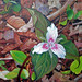 Painted Trillium, oil, Sandra Hildreth
