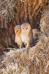 This Ain't No Barn (Taraji Blue) Tags: africa tree bird southafrica nest wildlife safari owl hiding kalahari barnowl tytoalba sanparks subsaharanafrica kgalagadi weaverbirdnest nonnetjieuil