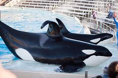 Ulises and Ikaika (Jennifer Stuber) Tags: orca seaworld shamu killerwhale seaworldsandiego swc ulises ikaika orque shamustadium oneocean