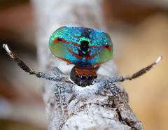 _MG_9592 (2) Peacock spider Maratus mungaich (Jurgen Otto) Tags: