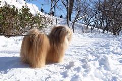 blizzard (Charley Lhasa) Tags: nyc newyorkcity winter dog snow ny newyork nemo path centralpark manhattan trail blizzard ricoh charley cherrytrees lhasaapso nycparks eyefi charleylhasa grd4 ricohgrdiv grdiv ricohgrdigitaliv ricohgrd4 ricohgrdigital4 camera:ricoh=grdigitaliv image:number=r0010321jpg post130211
