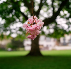 The spry hearts of Perth (Zeb Andrews) Tags: uk pink tree film analog square scotland spring europe heart blossom hasselblad perth oldworld hasselblad500c bluemooncamera stjohnstoun therivertay