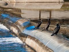 Cormorants at the Bess river -2- (Paco CT) Tags: barcelona bird animal rio river spain agua meetup ave kdd esp besos riu 2013 pacoct riobess