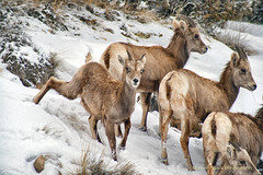 COLORADO NATIONAL MONUMENT ... Kids Will Be Kids (Aspenbreeze) Tags: winter snow colorado wildlife wildanimal coloradonationalmonument rockymountainsheep coloradowildlife aspenbreeze topphotospots tpswildlife gpsetest bevzuerlein rockymountainsheepewe rockymountainsheepkid