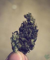Purps (GanjaGrouch) Tags: high weed 420 pot thc marijuana cannabis sativa stoner ganja nug