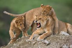 Ndutu lions (MyKeyC) Tags: africa tanzania lion lions todd aaacoltanzania