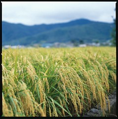 Kitasaga Rice Field (maida0922) Tags: field kyoto dof rice paddy bokeh grain hasselblad ear 京都 agriculture kitasaga 北嵯峨