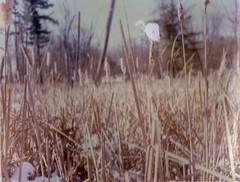 (WorthingtonJ) Tags: trees winter snow color nature reeds frozen fuji swamp graflex crowngraphic packfilm instantfilm fp100c