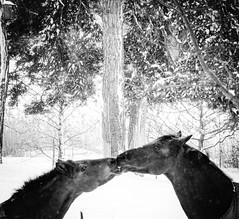 Horsekiss / Oops I think he saw us... (Eldkvast) Tags: winter two bw horse vinter kiss tva hst kyss svartvitt fotosondag