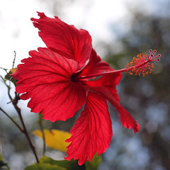 Red Hibiscus (Diana Kotori (♡ SS)) Tags: red flower nature hibiscus coth5